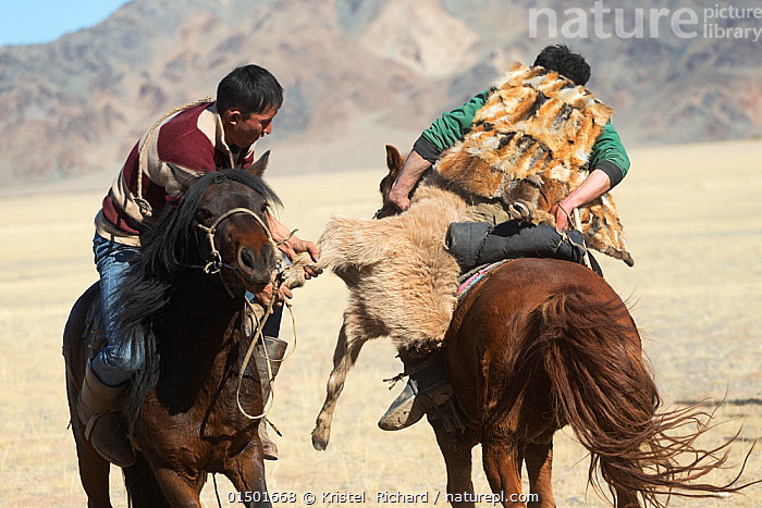 Two eagle hunters mounted on Mongolian horses in tug of war game over dead goat during the Buzkashi games, at the Eagle Hunters Festival, near Sagsai, Bayan-Ulgii Aymag, Mongolia. September 2014..  ,  Equus ferus caballus,Equus caballus,Riding,Leisure,People,Asian,Asians,Eastasian Ethnicity,Mongol,Mongolian Descent,Mongolian Descents,Mongolian Ethnicities,Mongols,Male,Man,Two,Celebration Event,Occasion,Occasions,Festival,Asia,East Asia,Mongolia,Independent Mongolia,Outer Mongolia,Animal,Leisure Games,Game,Games,Leisure Game,Sport,Sports,Tug Of War,Tug Of War,Tugs Of War,Tugs Of War,Culture,Domestic animal,Domestic Horse,Mongolian Horse,Domestic animals,Domesticated,Equus ferus caballus,Equus caballus,Horse,Two animals,Event  ,  Kristel  Richard