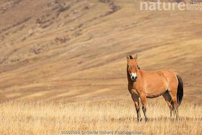 Przewalski / Takhi Horse (Equus ferus przewalskii) breeding stallion stands alert, Hustai National Park, Tuv Province, Mongolia. Endangered species. September.  ,  high15,,Animal,Vertebrate,Mammal,Odd toed ungulate,Wild Horse,Przewalski's horse,Animalia,Animal,Wildlife,Vertebrate,Mammalia,Mammal,Perissodactyla,Odd toed ungulate,Equidae,Equus,Equus ferus,Wild Horse,Horse,Standing,Alertness,Alert,Colour,Brown,Nobody,Asia,East Asia,Mongolia,Independent Mongolia,Outer Mongolia,Full Length,Full Lengths,Whole,Side View,Male Animal,Stallion,Stallions,Plain,Plains,Landscape,Landscapes,Outdoors,Open Air,Outside,Day,Nature,Natural,Natural World,Endangered Species,Threatened,Equus ferus przewalskii,Przewalski's horse,Dzungarian horse,Direct Gaze,Negative space,Brown Colour,Hustai National Park,Tuv Province (Mongolia),Endangered,Threatened,Endangered species  ,  Kristel  Richard