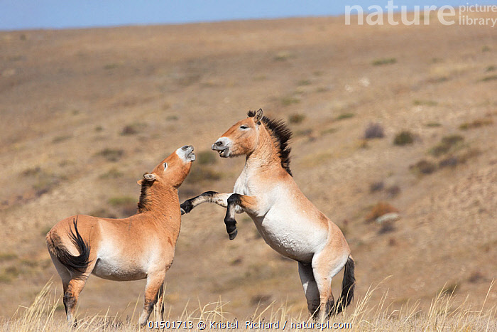 Two wild Przewalski / Takhi Horse (Equus ferus przewalskii) stallions play fighting Hustai National Park, Tuv Province, Mongolia. Endangered species. September.  ,  high15,,Animal,Vertebrate,Mammal,Odd toed ungulate,Wild Horse,Przewalski's horse,Animalia,Animal,Wildlife,Vertebrate,Mammalia,Mammal,Perissodactyla,Odd toed ungulate,Equidae,Equus,Equus ferus,Wild Horse,Horse,Rearing Up,Play Fight,Play Fights,Standing,Friendship,Colour,Brown,Face To Face,Face Each Other,Facing Each Other,Two,Nobody,Asia,East Asia,Mongolia,Independent Mongolia,Outer Mongolia,Male Animal,Stallion,Stallions,Landscape,Landscapes,Outdoors,Open Air,Outside,Day,Nature,Natural,Natural World,Endangered Species,Threatened,Wild,Animals In The Wild,Animal In The Wild,Wild Animal,Wild Animals,Habitat,Animal Behaviour,Aggression,Fighting,Playing,Behaviour,Play,Playful,Standing on hind legs,Equus ferus przewalskii,Przewalski's horse,Dzungarian horse,Two animals,Brown Colour,Hustai National Park,Tuv Province (Mongolia),Endangered,Threatened,Endangered species  ,  Kristel  Richard