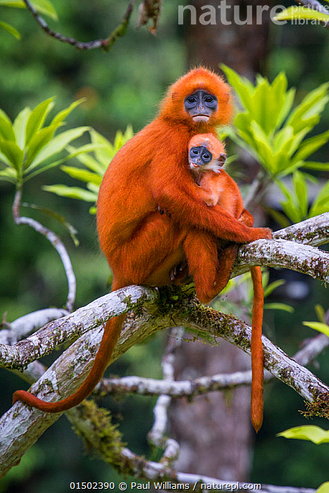 Red leaf monkey (Presbytis rubicunda) mother holding baby, Danum Valley, Sabah, Borneo, Malaysia August., high15,,Animal,Vertebrate,Mammal,Monkey,Surili,Maroon Langur,Animalia,Animal,Wildlife,Vertebrate,Mammalia,Mammal,Primate,Primates,Cercopithecidae,Monkey,Old World Monkeys,Presbytis,Surili,Presbytis rubicunda,Maroon Langur,Maroon Leaf Monkey,Maroon Sureli,Red Leaf Monkey,Sitting,Fear,Togetherness,Close,Together,Suspicion,Two,Nobody,Vibrant Colour,Asia,South East Asia,Young Animal,Juvenile,Babies,Female animal,Plant,Branch,Branches,Outdoors,Open Air,Outside,Day,Rainforest,Forest,Family,Mother baby,Borneo island,Borneo,Mother-baby,mother,Two animals,Parent baby,Insecurity,Danum Valley,Sabah,, Paul Williams