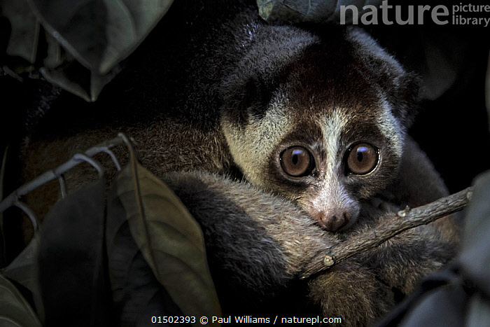 Javan slow loris (Nycticebus javanicus) rescued by Jakarta Animal Aid Network (JAAN), in holding cage, Animal rescue centre, Jakarta, Indonesia. Critically Endangered. Post production to remove light reflection in eyes.  ,  high15,,Animal,Vertebrate,Mammal,Loris,Slow loris,Javan slow loris,Animalia,Animal,Wildlife,Vertebrate,Mammalia,Mammal,Primate,Primates,Lorisidae,Loris,Prosimians,Nycticebus,Slow loris,Fear,Sadness,Nobody,Pattern,Patterned,Patterns,Asia,South East Asia,Indonesia,Jakarta,Brown Eyes,Brown Eye,Outdoors,Open Air,Outside,Day,Conservation,Animal rehabilitation,Biodiversity hotspot,Rehabilitation,Wildlife conservation,Direct Gaze,Animal orphan,Orphan,Animal marking,Critically Endangered,Nycticebus javanicus,Javan slow loris,Nycticebus ornatus,Nycticebus coucang javanicus,Animal Rescue,  ,  Paul Williams