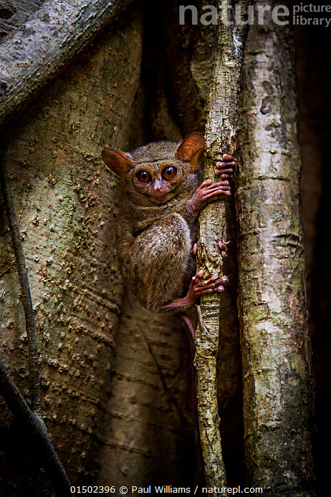 Spectral tarsier (Tarsius tarsier) returning to sleep in fig tree after a night hunting, Tangkoko, Sulawesi, Indonesia., catalogue8,,Animal,Vertebrate,Mammal,Tarsier,Eastern Tarsier,Animalia,Animal,Wildlife,Vertebrate,Mammalia,Mammal,Primate,Primates,Tarsiidae,Prosimians,Tarsius,Tarsier,Tarsius tarsier,Eastern Tarsier,Spectral Tarsier,Sulawesi Tarsier,Alertness,Alert,Anxiety,Nobody,Asia,South East Asia,Indonesia,Plant,Ficus Order,Mulberry Family,Fig Plant,Fig Plants,Fig Tree,Fig Trees,Tree Trunk,Hair,Fur,Outdoors,Open Air,Outside,Day,Biodiversity hotspot,Sulawesi,Wallacea,Animal Hair,Tangkoko,Endangered species,threatened,Vulnerable, Paul Williams