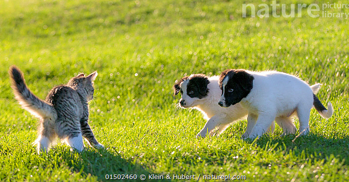Tabby and white semi-longhaired kitten in defensive posture,  arching back and fluffing up tail as two Border collie puppies  approach, France.  ,  Felis catus,Canis familiaris,Anger,Fear,Two,Europe,Western Europe,France,Animal,Young Animal,Juvenile,Babies,Baby Mammal,Kitten,Kittens,Gardens,Light,Lights,Sunlight,Outdoors,Open Air,Outside,Animal Behaviour,Aggression,Domestic animal,Pet,Mixed species,Behaviour,Domestic Dog,Pastoral Dog,Medium dog,Collie,Domestic Cat,Cats,Felis catus,Canis familiaris,Cat,Dog,Tabby,Two animals,Mammal  ,  Klein & Hubert