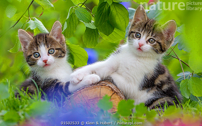 Two tabby and white kittens, age 6 weeks, playing on a log, France., Felis catus,Cute,Adorable,Friendship,Two,Europe,Western Europe,France,Animal,Young Animal,Juvenile,Babies,Baby Mammal,Kitten,Kittens,Gardens,Outdoors,Open Air,Outside,Animal Behaviour,Playing,Domestic animal,Pet,Behaviour,Domestic Cat,Cats,Play,Playful,Felis catus,Cat,Tabby,Two animals,Mammal, Klein & Hubert