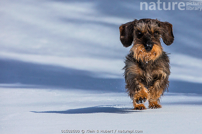 Wirehaired Dachshund running on snow, French Alps, Haute-Savoie, France., Canis familiaris,Running,Cute,Adorable,Europe,Western Europe,France,Portrait,Animal,Snow,Outdoors,Open Air,Outside,Winter,Domestic animal,Pet,Domestic Dog,Hound,Scenthound,Scent hound,Scent hounds,Medium Dog,Dachshund,Canis familiaris,Dog,Direct Gaze,Mammal, Klein & Hubert