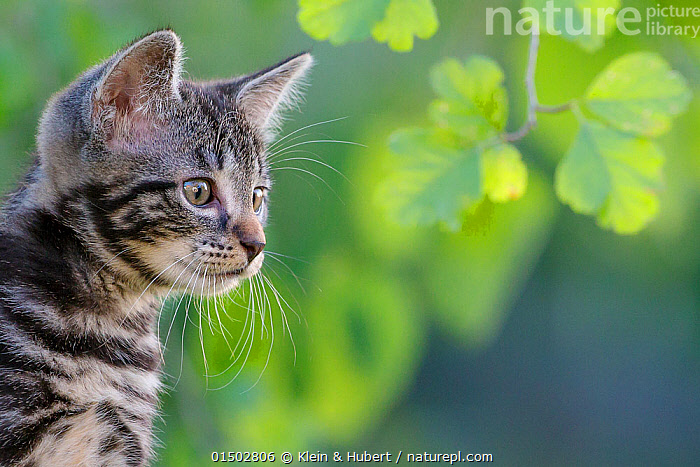 Tabby kitten, 8 weeks, in garden portrait, France., Felis catus,Cute,Adorable,Europe,Western Europe,France,Copy Space,Portrait,Animal,Young Animal,Juvenile,Babies,Baby Mammal,Kitten,Kittens,Gardens,Outdoors,Open Air,Outside,Domestic animal,Pet,Domestic Cat,Cats,Felis catus,Cat,Tabby,Negative space,Mammal, Klein & Hubert