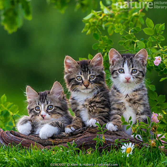 Three tabby and white kittens, 2 months, on a root, France., FELIS CATUS,CUTE,ADORABLE,FRIENDSHIP,FEW,THREE,GROUP,EUROPE,WESTERN EUROPE,FRANCE,PORTRAIT,ANIMAL,YOUNG ANIMAL,JUVENILE,BABIES,BABY MAMMAL,KITTEN,KITTENS,GARDENS,OUTDOORS,OPEN AIR,OUTSIDE,DOMESTIC ANIMAL,PET,DOMESTIC CAT,CATS,FELIS CATUS,CAT,TABBY,THREE ANIMALS,MAMMAL,Concepts, Klein & Hubert