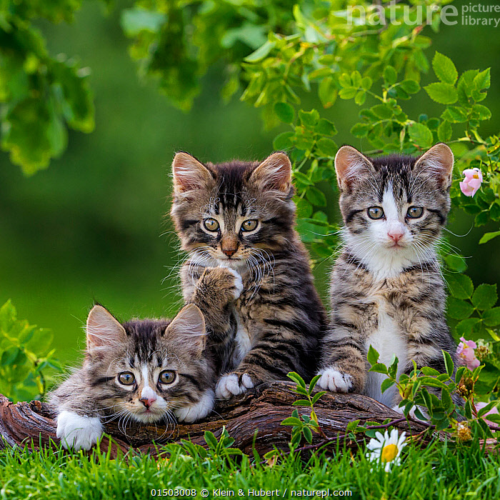 Three tabby and white kittens, 2 months, on a root, France.  ,  FELIS CATUS,CUTE,ADORABLE,FRIENDSHIP,FEW,THREE,GROUP,EUROPE,WESTERN EUROPE,FRANCE,PORTRAIT,ANIMAL,YOUNG ANIMAL,JUVENILE,BABIES,BABY MAMMAL,KITTEN,KITTENS,GARDENS,OUTDOORS,OPEN AIR,OUTSIDE,DOMESTIC ANIMAL,PET,DOMESTIC CAT,CATS,FELIS CATUS,CAT,TABBY,THREE ANIMALS,MAMMAL,Concepts  ,  Klein & Hubert