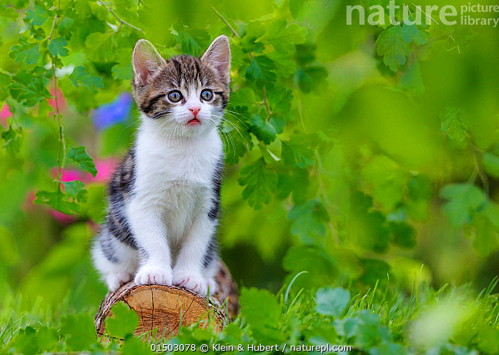 Tabby and white kitten, age six weeks, sitting on a log, France., FELIS CATUS,SITTING,CUTE,ADORABLE,EUROPE,WESTERN EUROPE,FRANCE,ANIMAL,YOUNG ANIMAL,JUVENILE,BABIES,BABY MAMMAL,KITTEN,KITTENS,GARDENS,OUTDOORS,OPEN AIR,OUTSIDE,DOMESTIC ANIMAL,PET,DOMESTIC CAT,CATS,FELIS CATUS,CAT,TABBY,MAMMAL, Klein & Hubert