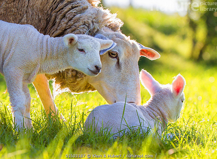 Ewe with twin lambs in meadow in spring. France., CARE,CARING,CUTE,ADORABLE,EUROPE,WESTERN EUROPE,FRANCE,PORTRAIT,ANIMAL,YOUNG ANIMAL,JUVENILE,BABIES,BABY MAMMAL,LAMB,FEMALE ANIMAL,EWE,EWES,LIGHT,LIGHTS,SUNLIGHT,SPRING,LIVESTOCK,DOMESTIC ANIMAL,FAMILY,MOTHER BABY,MOTHER BABY,MOTHER,DOMESTIC SHEEP,OVIS ARIES,PARENT BABY,SHEEP,MAMMAL, Klein & Hubert