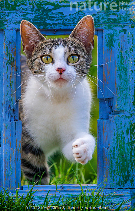 Tabby and white female cat looking through the frame of an old blue window., FELIS CATUS,COLOUR,BLUE,VERTICAL,PORTRAIT,ANIMAL,FEMALE ANIMAL,ANIMAL LIMBS,LIMB,LIMBS,ANIMAL FEET,FEET,FOOT,PAW,PAWS,DOMESTIC ANIMAL,PET,DOMESTIC CAT,CATS,FELIS CATUS,CAT,TABBY, Klein & Hubert