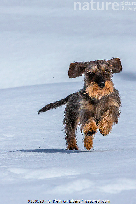 Wirehaired Dachshund running on snow, Haute-Savoie, Alps, France.  ,  CANIS FAMILIARIS,RUNNING,EUROPE,WESTERN EUROPE,FRANCE,VERTICAL,ANIMAL,SNOW,OUTDOORS,OPEN AIR,OUTSIDE,WINTER,DOMESTIC ANIMAL,PET,DOMESTIC DOG,HOUND,SCENTHOUND,SCENT HOUND,SCENT HOUNDS,MEDIUM DOG,DACHSHUND,CANIS FAMILIARIS,DOG,MAMMAL  ,  Klein & Hubert