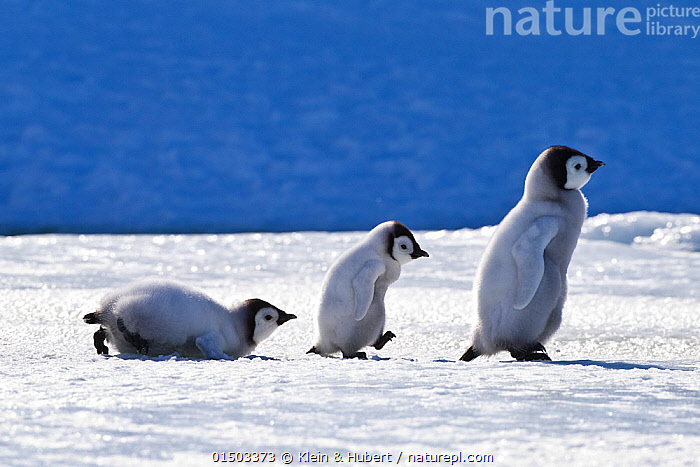 Three Emperor penguin (Aptenodytes forsteri) chicks walking on pack ice in front of blue iceberg, Antarctica, ANIMAL,VERTEBRATE,BIRDS,PENGUIN,EMPEROR PENGUIN,ANIMALIA,ANIMAL,WILDLIFE,VERTEBRATE,AVES,BIRDS,SPHENISCIFORMES,PENGUIN,SEABIRD,SPHENISCIDAE,APTENODYTES,APTENODYTES FORSTERI,EMPEROR PENGUIN,MOVING AFTER,FOLLOWING,FOLLOW,FOLLOWS,SLIDING,WADDLING,WADDLE,WADDLES,WALKING,GROWTH,GROW,GROWING,GROWS,ROW,FEW,THREE,GROUP,SIZE,SMALL,LITTLE,TINY,ANTARCTICA,ANTARCTIC,POLAR,COPY SPACE,YOUNG ANIMAL,JUVENILE,BABIES,CHICK,ICE,PACK ICE,ICE FLOES,ICEBERG,ICEBERGS,NEGATIVE SPACE,THREE ANIMALS,MOVING,LINED UP,SEA ICE,SINGLE FILE,TOBOGGANING,MARINE BIRD,MARINE BIRDS,PELAGIC BIRD,PELAGIC BIRDS,FLIGHTLESS,Concepts, Klein & Hubert