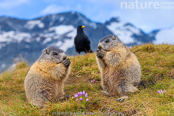 Two Alpine marmots (Marmota marmota) feeding with Alpine chough (Pyrrhocorax graculus) in the background,  Alps, Austria., Animal,Vertebrate,Mammal,Rodent,Marmot,Alpine marmot,Animalia,Animal,Wildlife,Vertebrate,Mammalia,Mammal,Rodentia,Rodent,Sciuridae,Marmota,Marmot,Marmota marmota,Alpine marmot,Standing,Europe,Western Europe,Austria,Mountain,Landscape,Landscapes,Habitat,Feeding,Mixed species,Standing on hind legs, Klein & Hubert