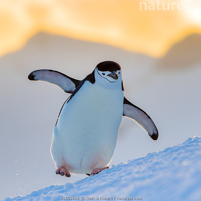 Chinstrap penguin (Pygoscelis antarcticus) walking with full belly at sunset, Antarctica  ,  ANIMAL,VERTEBRATE,BIRDS,PENGUIN,CHINSTRAP PENGUIN,ANIMALIA,ANIMAL,WILDLIFE,VERTEBRATE,AVES,BIRDS,SPHENISCIFORMES,PENGUIN,SEABIRD,SPHENISCIDAE,PYGOSCELIS,PYGOSCELIS ANTARCTICUS,CHINSTRAP PENGUIN,BEARDED PENGUIN,RINGED PENGUIN,PYGOSCELIS ANTARCTICA,WADDLING,WADDLE,WADDLES,WALKING,BALANCE,CLUMSY,LARGE BUILD,FAT,SLOPING,SLANTED,SLOPE,SLOPED,SLOPES,ANTARCTICA,ANTARCTIC,POLAR,COPY SPACE,PORTRAIT,WING,WINGS,WINGS SPREAD,WINGSPAN,NEGATIVE SPACE,MARINE BIRD,MARINE BIRDS,PELAGIC BIRD,PELAGIC BIRDS,FLIGHTLESS  ,  Klein & Hubert