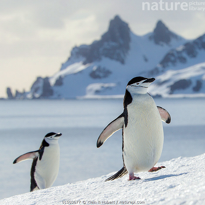 Chinstrap penguins (Pygoscelis antarcticus) climbing to colony and mountain in background, Antarctica  ,  ANIMAL,VERTEBRATE,BIRDS,PENGUIN,CHINSTRAP PENGUIN,ANIMALIA,ANIMAL,WILDLIFE,VERTEBRATE,AVES,BIRDS,SPHENISCIFORMES,PENGUIN,SEABIRD,SPHENISCIDAE,PYGOSCELIS,PYGOSCELIS ANTARCTICUS,CHINSTRAP PENGUIN,BEARDED PENGUIN,RINGED PENGUIN,PYGOSCELIS ANTARCTICA,WADDLING,WADDLE,WADDLES,WALKING,TWO,GROUP,SLOPING,SLANTED,SLOPE,SLOPED,SLOPES,ANTARCTICA,ANTARCTIC,POLAR,WING,WINGS,MOUNTAIN,LANDSCAPE,LANDSCAPES,COAST,COASTAL,HABITAT,WINGS SPREAD,WINGSPAN,TWO ANIMALS,MARINE BIRD,MARINE BIRDS,PELAGIC BIRD,PELAGIC BIRDS,FLIGHTLESS  ,  Klein & Hubert
