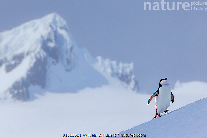Chinstrap penguin (Pygoscelis antarcticus) climbing to colony and mountain summit in background, Antarctica  ,  ANIMAL,VERTEBRATE,BIRDS,PENGUIN,CHINSTRAP PENGUIN,ANIMALIA,ANIMAL,WILDLIFE,VERTEBRATE,AVES,BIRDS,SPHENISCIFORMES,PENGUIN,SEABIRD,SPHENISCIDAE,PYGOSCELIS,PYGOSCELIS ANTARCTICUS,CHINSTRAP PENGUIN,BEARDED PENGUIN,RINGED PENGUIN,PYGOSCELIS ANTARCTICA,WADDLING,WADDLE,WADDLES,WALKING,GROUP,SLOPING,SLANTED,SLOPE,SLOPED,SLOPES,ANTARCTICA,ANTARCTIC,POLAR,MOUNTAIN,LANDSCAPE,LANDSCAPES,HABITAT,MARINE BIRD,MARINE BIRDS,PELAGIC BIRD,PELAGIC BIRDS,FLIGHTLESS  ,  Klein & Hubert