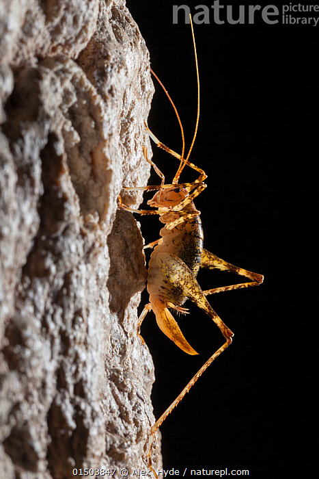 Cave Cricket female (Troglophilus cavicola) on the side of stalactite in limestone cave. Plitvice Lakes National Park, Croatia. January., high15,,Animal,Arthropod,Insect,Orthopterida,Rhaphidophoroidea,Cave cricket,Animalia,Animal,Wildlife,Hexapoda,Arthropod,Invertebrate,Hexapod,Arthropoda,Insecta,Insect,Orthoptera,Orthopterida,Rhaphidophoridae,Rhaphidophoroidea,Ensifera,Troglophilus,Cave cricket,Troglophilus cavicola,Locusta cavicola,Phalangopsis latebrarum,Phalangopsis latebricola,Nobody,Europe,Southern Europe,Croatia,Vertical,Close Up,Side View,Back Lit,Backlit,Antennae,Cave,Rock Formations,Stalactites,Rock,Limestone,Outdoors,Open Air,Outside,Night,Reserve,Geology,Protected area,National Park,Sensory organ,Using Senses,Bipectinate Antenna,Antenna,Creepy Crawly,, Alex  Hyde