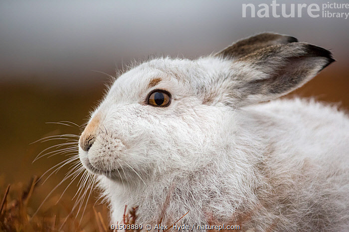 Mountain hare (Lepus timidus), Cairngorms National Park, Scotland. January., catalogue8,,Animal,Vertebrate,Mammal,Lagomorph,Leporid,Hare,Mountain Hare,Animalia,Animal,Wildlife,Vertebrate,Mammalia,Mammal,Lagomorpha,Lagomorph,Leporidae,Leporid,Lepus,Hare,Lepus timidus,Mountain Hare,Waiting,Colour,White,Nobody,Temperature,Cold,Europe,Western Europe,UK,Great Britain,Scotland,Profile,Close Up,Side View,Portrait,Ear,Animal Ears,Ears,Animal Eye,Animal Eyes,Eye,Eyes,Animal Nose,Nose,Noses,Hair,Fur,Snow,Outdoors,Open Air,Outside,Winter,Day,Reserve,Colour-phases,Winter coat,Protected area,National Park,Whiskers,Scottish National Parks,Cairngorms National Park,White colour,Animal Hair,Ears Back,, Alex  Hyde