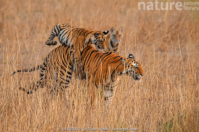 Bengal Tiger (Panthera tigris) six month old cub jumping on its mother, Bandhavgarh National Park, India., BBC;Bandhavgarh;India;Tigers high15,,Animal,Vertebrate,Mammal,Carnivore,Cat,Big cat,Tiger,Animalia,Animal,Wildlife,Vertebrate,Mammalia,Mammal,Carnivora,Carnivore,Felidae,Cat,Panthera,Big cat,Panthera tigris,Tiger,Felis tigris,Tigris striatus,Tigris regalis,Jumping,Annoy,Annoyed,Annoying,Mischief,Few,Three,Group,Nobody,Pattern,Patterned,Patterns,Asia,Indian Subcontinent,India,Young Animal,Juvenile,Babies,Baby Mammal,Cub,Plain,Plains,Outdoors,Open Air,Outside,Day,Animal Behaviour,Playing,Reserve,Family,Mother baby,Behaviour,Mother-baby,mother,Play,Playful,Protected area,National Park,Madhya Pradesh,Parent baby,Three Animals,Animal marking,Aggravating,Bandhavgarh National Park,Tolerance,Endangered species,threatened,Endangered, Theo Webb