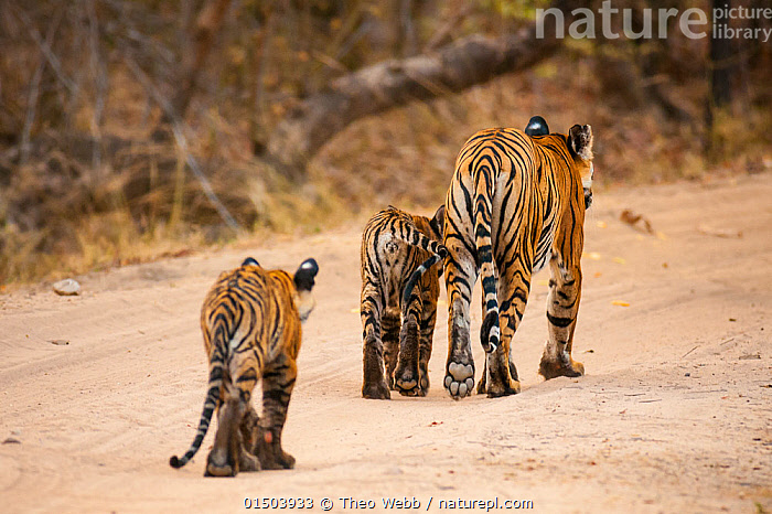 Bengal tiger (Panthera tigris) cubs following their mother, Bandhavgarh National Park, India., BBC;Bandhavgarh;India;Tigers high15,,Animal,Vertebrate,Mammal,Carnivore,Cat,Big cat,Tiger,Animalia,Animal,Wildlife,Vertebrate,Mammalia,Mammal,Carnivora,Carnivore,Felidae,Cat,Panthera,Big cat,Panthera tigris,Tiger,Felis tigris,Tigris striatus,Tigris regalis,Moving After,Following,Follow,Follows,Walking,Journey,Obedience,Togetherness,Close,Together,Few,Three,Group,Nobody,Pattern,Patterned,Patterns,Tiredness,Asia,Indian Subcontinent,India,Close Up,Rear View,Young Animal,Juvenile,Babies,Baby Mammal,Cub,Outdoors,Open Air,Outside,Day,Reserve,Family,Mother baby,Mother-baby,mother,Protected area,National Park,Madhya Pradesh,Parent baby,Three Animals,Moving,Animal marking,Bandhavgarh National Park,Endangered species,threatened,Endangered,,Exhausted,, Theo Webb