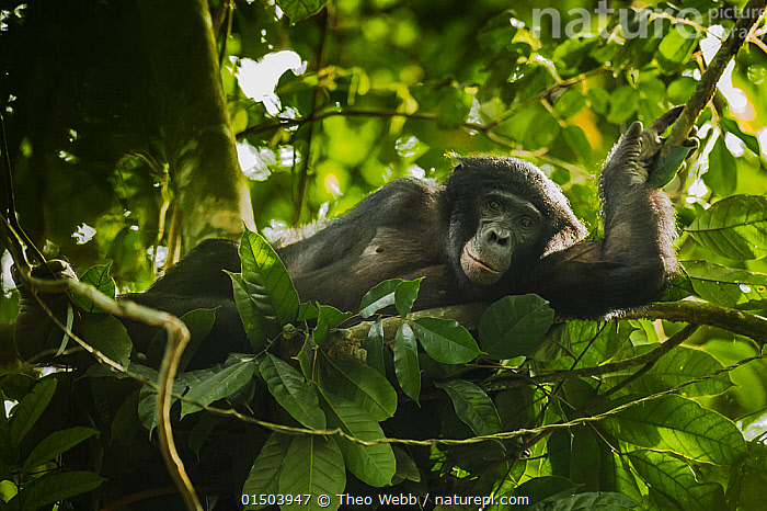 Bonobo (Pan paniscus) lying in a day nest, Max Planck research site, LuiKotale, Salonga National Park, Democratic Republic of Congo.  ,  high15,,Animal,Vertebrate,Mammal,Ape,Bonobo,Animalia,Animal,Wildlife,Vertebrate,Mammalia,Mammal,Primate,Primates,Hominidae,Ape,Greater apes,Hominoidea,Pan,Pan paniscus,Bonobo,Lying down,Lying On Side,Resting,Rest,Alertness,Alert,Relaxation,Sadness,Nobody,Africa,Central Africa,Democratic Republic of the Congo,Plant,Branch,Branches,Leaf,Foliage,Tree,Outdoors,Open Air,Outside,Day,Reserve,Protected area,National Park,DRC,Reclining,Max Planck Research Site (Salonga National Park,Democratic Republic of Congo),Endangered species,threatened,Endangered,,Great apes,  ,  Theo Webb