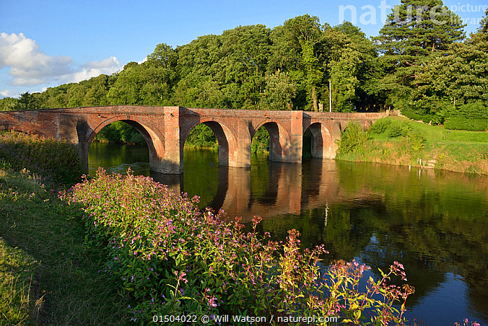 Bredwardine Bridge on the River Wye SSSI, with Himalayan Balsam (Impatiens glandifera) on the bank, Herefordshire, England. July 2014.  ,  Plant,Vascular plant,Flowering plant,Asterid,Touch me not,Himalayan balsam,Plantae,Plant,Tracheophyta,Vascular plant,Magnoliopsida,Flowering plant,Angiosperm,Seed plant,Spermatophyte,Spermatophytina,Angiospermae,Ericales,Asterid,Dicot,Dicotyledon,Asteranae,Balsaminaceae,Impatiens,Touch me not,Impatiens glandulifera,Himalayan balsam,Ornamental jewelweed,Impatiens roylei,Balsamina macrochila,Balsamina glandulifera,Europe,Western Europe,UK,Great Britain,England,Herefordshire,Flower,Bridge,Bridges,Reflection,Flowing Water,River,Freshwater,Water,Exotics,Alien,Alien Species,Invasive,Introduced species  ,  Will Watson