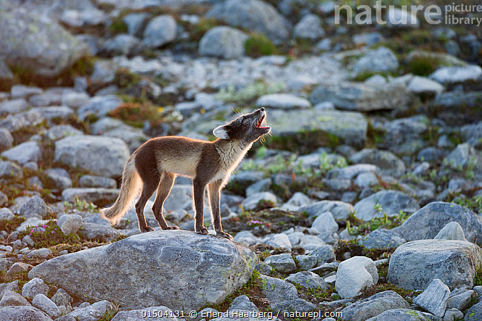 Arctic fox (Alopex lagopus) adult barking on rocks, Dovrefjell-Sunndalsfjella National Park, Norway, July., high15,,Animal,Vertebrate,Mammal,Carnivore,Canid,True fox,Arctic fox,Animalia,Animal,Wildlife,Vertebrate,Mammalia,Mammal,Carnivora,Carnivore,Canidae,Canid,Vulpes,True fox,Vulpini,Caninae,Vulpes lagopus,Arctic fox,Polar fox,Blue fox,Ice fox,White fox,Alopex lagopus,Canis lagopus,Vocalisation,Calling,Call,Barking,Barks,Head Back,Head Cocked,Loneliness,Lonely,Nobody,Europe,Northern Europe,North Europe,Nordic Countries,Scandinavia,Norway,Side View,Hair,Fur,Rock,Outdoors,Open Air,Outside,Day,Animal Behaviour,Adult,Behaviour,Dovrefjell National Park,Animal Hair,Attempting,Attempt,, Erlend Haarberg