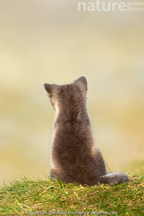 Arctic fox (Alopex lagopus) cub sitting,rear view,  Dovrefjell-Sunndalsfjella National Park, Norway, July.  ,  high15,,Animal,Vertebrate,Mammal,Carnivore,Canid,True fox,Arctic fox,Animalia,Animal,Wildlife,Vertebrate,Mammalia,Mammal,Carnivora,Carnivore,Canidae,Canid,Vulpes,True fox,Vulpini,Caninae,Vulpes lagopus,Arctic fox,Polar fox,Blue fox,Ice fox,White fox,Alopex lagopus,Canis lagopus,Sitting,Waiting,Rejection,Sadness,Alone,Solitude,Solitary,Nobody,Europe,Northern Europe,North Europe,Nordic Countries,Scandinavia,Norway,Copy Space,Vertical,Rear View,Young Animal,Juvenile,Babies,Baby Mammal,Cub,Hair,Fur,Outdoors,Open Air,Outside,Day,Cryptic,Negative space,Dejected,Despondent,Downcast,Dovrefjell National Park,Animal Hair,  ,  Erlend Haarberg