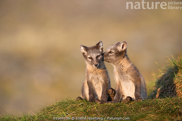 Arctic fox (Alopex lagopus) cubs sitting, Dovrefjell-Sunndalsfjella National Park, Norway, July.  ,  Animal,Vertebrate,Mammal,Carnivore,Canid,True fox,Arctic fox,Animalia,Animal,Wildlife,Vertebrate,Mammalia,Mammal,Carnivora,Carnivore,Canidae,Canid,Vulpes,True fox,Vulpini,Caninae,Vulpes lagopus,Arctic fox,Polar fox,Blue fox,Ice fox,White fox,Alopex lagopus,Canis lagopus,Grooming,Sitting,Cute,Adorable,Two,Affectionate,Affection,Europe,Northern Europe,North Europe,Nordic Countries,Scandinavia,Norway,Young Animal,Juvenile,Babies,Baby Mammal,Cub,Animal Behaviour,Behaviour,Dovrefjell National Park  ,  Erlend  Haarberg