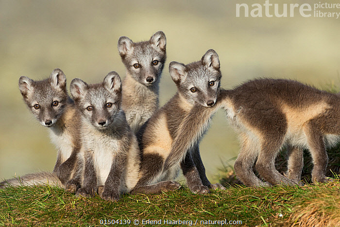 Arctic fox (Alopex lagopus) cubs playing, Dovrefjell-Sunndalsfjella National Park, Norway, July., high15,,Animal,Vertebrate,Mammal,Carnivore,Canid,True fox,Arctic fox,Animalia,Animal,Wildlife,Vertebrate,Mammalia,Mammal,Carnivora,Carnivore,Canidae,Canid,Vulpes,True fox,Vulpini,Caninae,Vulpes lagopus,Arctic fox,Polar fox,Blue fox,Ice fox,White fox,Alopex lagopus,Canis lagopus,Sitting,Sibling,Siblings,Alertness,Alert,Cute,Adorable,Hope,Togetherness,Close,Together,Trust,Trustful,Trusting,Colour,Grey,Gray,Group,Medium Group,Nobody,Europe,Northern Europe,North Europe,Nordic Countries,Scandinavia,Norway,Front View,View From Front,Young Animal,Juvenile,Babies,Baby Mammal,Cub,Outdoors,Open Air,Outside,Day,Animal Behaviour,Family,Behaviour,Direct Gaze,Five animals,Dovrefjell National Park,, Erlend Haarberg