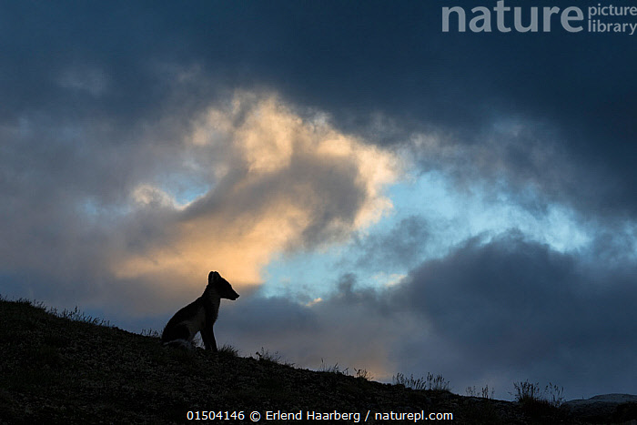 Arctic fox (Alopex lagopus) silhouetted against stormy sky, Dovrefjell-Sunndalsfjella National Park, Norway, July.  ,  high15,,Animal,Vertebrate,Mammal,Carnivore,Canid,True fox,Arctic fox,Animalia,Animal,Wildlife,Vertebrate,Mammalia,Mammal,Carnivora,Carnivore,Canidae,Canid,Vulpes,True fox,Vulpini,Caninae,Vulpes lagopus,Arctic fox,Polar fox,Blue fox,Ice fox,White fox,Alopex lagopus,Canis lagopus,Sitting,Waiting,Anticipation,Alone,Solitude,Solitary,Nobody,Sloping,Europe,Northern Europe,North Europe,Nordic Countries,Scandinavia,Norway,Profile,Side View,Back Lit,Backlit,Hill,Hills,Hillside,Hillsides,Sky,Cloud,Storm Cloud,Moody Sky,Outdoors,Open Air,Outside,Night,Silhouette,Dark skies,Dovrefjell National Park,Tension,  ,  Erlend Haarberg