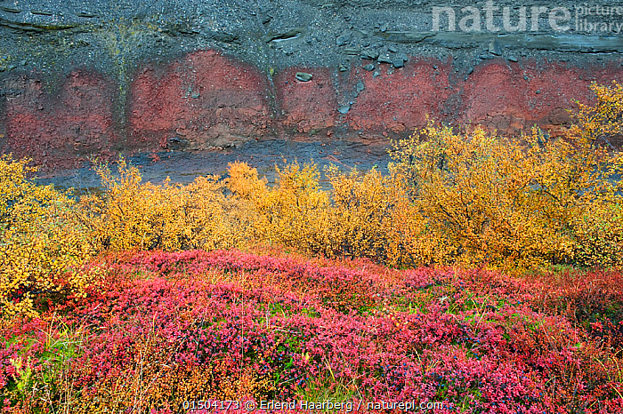 Birch forest in autumn, Hraunfossar, Iceland, September.  ,  Plant,Vascular plant,Flowering plant,Rosid,Birch tree,Plantae,Plant,Tracheophyta,Vascular plant,Magnoliopsida,Flowering plant,Angiosperm,Seed plant,Spermatophyte,Spermatophytina,Angiospermae,Fagales,Rosid,Dicot,Dicotyledon,Rosanae,Betulaceae,Betula,Birch tree,Europe,Northern Europe,North Europe,Nordic Countries,Scandinavia,Iceland,Autumn,Autumnal,Fall,Forest,Tree,Trees  ,  Erlend  Haarberg