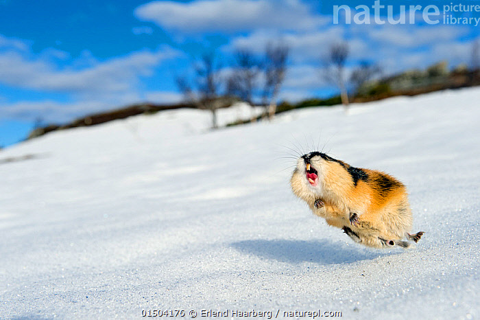 Norway lemming (Lemmus lemmus) jumping aggressively, during the lemming population explosion, Vauldalen, Norway, May, 2011.  ,  high15,,Animal,Vertebrate,Mammal,Rodent,Lemming,Norway lemming,Animalia,Animal,Wildlife,Vertebrate,Mammalia,Mammal,Rodentia,Rodent,Cricetidae,Lemmus,Lemming,Lemmus lemmus,Norway lemming,Lemmus borealis,Lemmus iterator,Lemmus norvegicus,Vocalisation,Calling,Call,Jumping,Energetic,Fear,Happiness,Mid Air,Nobody,Terrified,Terrify,Terror,Panic,Europe,Northern Europe,North Europe,Nordic Countries,Scandinavia,Norway,Snow,Outdoors,Open Air,Outside,Day,Countryside,Animal Behaviour,Aggression,Behaviour,Vauldalen,Brekkebygd,Glee,  ,  Erlend Haarberg