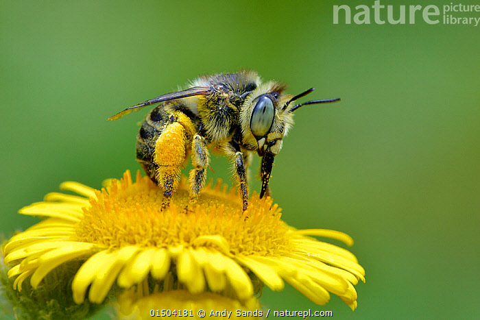Mining bee / Little flower bee (Anthophora bimaculata) taking nectar and pollen from Common fleabane (Pulicaria dysenterica) flower, with pollen covered scopa, Surrey, England, UK. August. Highly commended in the Hidden Britain category of the BWPA Awards 2015., high15,,Animal,Arthropod,Insect,Bee,Animalia,Animal,Wildlife,Hexapoda,Arthropod,Invertebrate,Hexapod,Arthropoda,Insecta,Insect,Hymenoptera,Hymenopterans,Apidae,Bee,Apid bee,Apoidea,Apocrita,Anthophora,Pollination,Shock,Shocked,Shocks,Colour,Yellow,Nobody,Facial Expression,Winking,Wink,Winks,Europe,Western Europe,UK,Great Britain,England,Surrey,Coloured Background,Green Background,Copy Space,Plant,Flower,Flowers,Pollen,Animal Eye,Animal Eyes,Eye,Eyes,Outdoors,Open Air,Outside,Day,Feeding,Competition winner,Negative space,Flowerhead,Nectar,Anthophora bimaculata,Yellow Colour,Photography award, Andy Sands