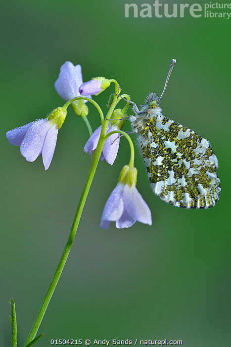 Orange tip butterfly (Anthocharis cardamines) resting, covered in dew on Cuckooflower / Lady's smock (Cardamine pratensis) Hertfordshire, England, UK, April, Plant,Vascular plant,Flowering plant,Rosid,Crucifer,Bittercress,Cuckoo flower,Animal,Arthropod,Insect,Butterfly,Orangetip,Orange tip,Plantae,Plant,Tracheophyta,Vascular plant,Magnoliopsida,Flowering plant,Angiosperm,Seed plant,Spermatophyte,Spermatophytina,Angiospermae,Brassicales,Rosid,Dicot,Dicotyledon,Rosanae,Brassicaceae,Crucifer,Cabbage family,Mustard,Mustard flower,Cruciferae,Cardamine,Bittercress,Bitter cress,Cardamine pratensis,Cuckoo flower,Lady's Smock,Cardamine acaulis,Cardamine buchtormensis,Cardamine palustris,Animalia,Animal,Wildlife,Hexapoda,Arthropod,Invertebrate,Hexapod,Arthropoda,Insecta,Insect,Lepidoptera,Lepidopterans,Pieridae,Butterfly,Papilionoidea,Anthocharis,Orangetip,Anthocharis cardamines,Orange tip,Papilio cardamines,Morning,Mornings,Colour,Purple,Europe,Western Europe,UK,Great Britain,England,Hertfordshire,Copy Space,Flower,Weather,Dew,Negative space, Andy Sands