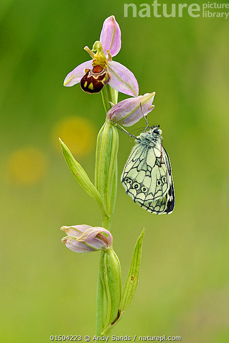 Newly emerged Marbled white butterfly (Melanargia galathea) on Bee orchid (Ophrys apifera), Bedfordshire, England, UK. June  ,  high15,,Plant,Vascular plant,Flowering plant,Monocot,Orchid,Bee orchid,Animal,Arthropod,Insect,Brushfooted butterfly,Marbled white,Plantae,Plant,Tracheophyta,Vascular plant,Magnoliopsida,Flowering plant,Angiosperm,Seed plant,Spermatophyte,Spermatophytina,Angiospermae,Asparagales,Monocot,Monocotyledon,Lilianae,Orchidaceae,Orchid,Ophrys,Bee orchid,Ophrys apifera,Ophrys aquisgranensis,Ophrys asilifera,Ophrys chlorantha,Animalia,Animal,Wildlife,Hexapoda,Arthropod,Invertebrate,Hexapod,Arthropoda,Insecta,Insect,Lepidoptera,Lepidopterans,Nymphalidae,Brushfooted butterfly,Fourfooted butterfly,Nymphalid,Butterfly,Papilionoidea,Melanargia,Marbled white,Satyrine,Satyrid,Brown,Satyrinae,Melanargia galathea,Papilio galathea,Waiting,New Beginnings,Begin,New Life,Colour,Pink,Nobody,Pastel,Europe,Western Europe,UK,Great Britain,England,Bedfordshire,Profile,Close Up,Side View,Flower,Flowers,Stem,Outdoors,Open Air,Outside,Day,Beginnings,  ,  Andy Sands