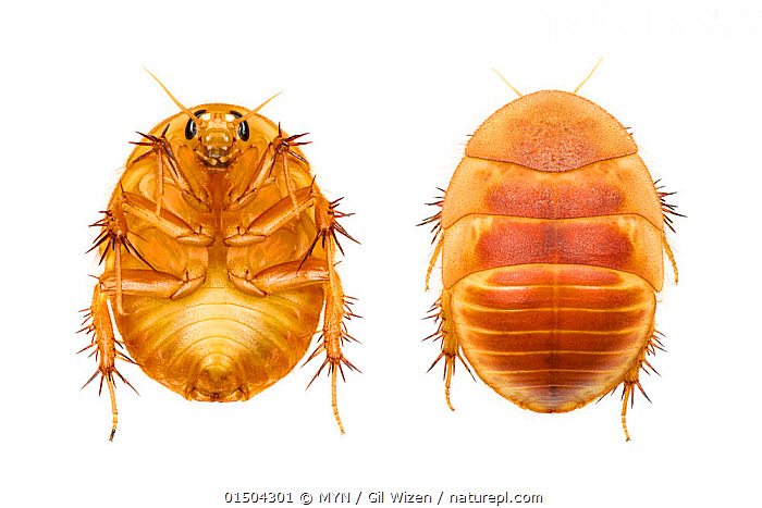 Israeli sand cockroach (Heterogamodes hebraica) composite showing ventral and dorsal view of female, Central Coastal Plain, Israel, April. Focus-stacked. meetyourneighbours.net project, high15,,Animal,Arthropod,Insect,Neoptera,Cockroach,Israeli sand cockroach,Animalia,Animal,Wildlife,Hexapoda,Arthropod,Invertebrate,Hexapod,Arthropoda,Insecta,Insect,Dictyoptera,Neoptera,Pterygota,Cockroach,Reversing,Reverse,Reverses,Surprise,Comparison,Juxtaposition,Protection,Colour,Orange,Two,Nobody,Asia,Middle East,Israel,Cutout,Plain Background,White Background,Close Up,High Angle View,Female animal,Animal Backs,Back,Backs,Shell,Indoors,Studio Shot,Studio Shots,MYN,Meet your Neighbours,Ventral view,Underside,Elevated view,Two animals,Dorsal view,Protector,Corydiidae,Polyphagidae,Heterogamodes,Heterogamodes hebraica,Israeli sand cockroach,Side,Central Coastal Plain,, MYN / Gil Wizen