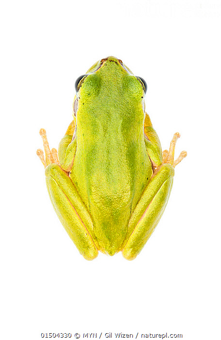 Lemon-yellow tree frog (Hyla savignyi), Central Coastal Plain, Israel, June. Focus-stacked. meetyourneighbours.net project, Animal,Vertebrate,Frog,Tree frog,Savigny's Tree Frog,Animalia,Animal,Wildlife,Vertebrate,Amphibia,Anura,Frog,Hylidae,Tree frog,Hyla,Asia,Middle East,Israel,Cutout,Plain Background,White Background,Vertical,High Angle View,MYN,Meet your Neighbours,Elevated view,Dorsal view,Amphibian,Hyla savignyi,Savigny's Tree Frog,Savingny's treefrog,Lemon-Yellow Tree Frog,, MYN / Gil Wizen