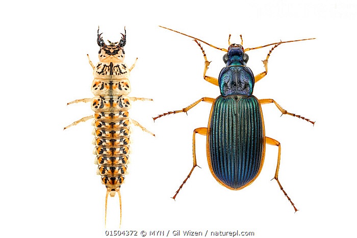 Comparison of larva and adult beetle (Epomis circumscriptus), Central Coastal Plain, Israel, April. Focus-stacked. meetyourneighbours.net project  ,  high15,,Animal,Arthropod,Insect,Beetle,Ground beetle,Animalia,Animal,Wildlife,Hexapoda,Arthropod,Invertebrate,Hexapod,Arthropoda,Insecta,Insect,Coleoptera,Beetle,Endopterygota,Neoptera,Carabidae,Ground beetle,Carabid beetle,Carabid,Caraboidea,Adephagan,Adephaga,Epomis,Comparison,Juxtaposition,Contrasts,Side By Side,Two,Nobody,Asia,Middle East,Israel,Cutout,Plain Background,White Background,Close Up,High Angle View,Larva,Indoors,Studio Shot,Studio Shots,Adult,MYN,Meet your Neighbours,Elevated view,Two animals,Dorsal view,Belidae,Epomis circumscriptus,Creepy Crawly,Central Coastal Plain,  ,  MYN / Gil Wizen
