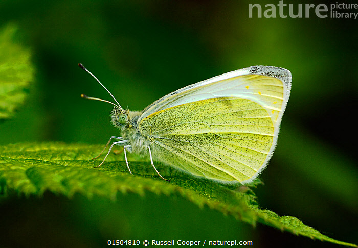 Small white butterfly (Pieris rapae) resting on a leaf, London, UK, April., Animal,Arthropod,Insect,Butterfly,White,Small white,Animalia,Animal,Wildlife,Hexapoda,Arthropod,Invertebrate,Hexapod,Arthropoda,Insecta,Insect,Lepidoptera,Lepidopterans,Pieridae,Butterfly,Papilionoidea,Pieris,White,Garden white,Pieris rapae,Small white,Small cabbage white,White butterfly,Small cabbage butterfly,Papilio rapae,Europe,Western Europe,UK,Great Britain,England,London,Greater London,Profile,Side View, Russell Cooper