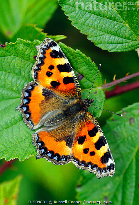 Small tortoiseshell butterfly (Aglais urticae) resting on Bramble leaf, London, UK, July., Animal,Arthropod,Insect,Brushfooted butterfly,Tortoiseshell,Small tortoiseshell,Animalia,Animal,Wildlife,Hexapoda,Arthropod,Invertebrate,Hexapod,Arthropoda,Insecta,Insect,Lepidoptera,Lepidopterans,Nymphalidae,Brushfooted butterfly,Fourfooted butterfly,Nymphalid,Butterfly,Papilionoidea,Aglais,Tortoiseshell,Aglais urticae,Small tortoiseshell,Mountain tortoiseshell,Nymphalis urticae,Vanessa urticae,Papilio urticae,Europe,Western Europe,UK,Great Britain,England,London,Greater London,Summer, Russell Cooper