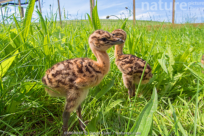Great bustard (Otis tarda) chicks hatched from eggs collected under licence from the Castilla-La Mancha region of Spain.  ,  high15,,Animal,Vertebrate,Bird,Birds,Bustard,Great bustard,Animalia,Animal,Wildlife,Vertebrate,Aves,Bird,Birds,Gruiformes,Otididae,Bustard,Otidae,Otis,Otis tarda,Great bustard,Ignoring,Ignore,Standing,Sibling,Siblings,Contrasts,Opposites,Cute,Adorable,Direction,Two,Nobody,Pattern,Patterned,Patterns,Young Animal,Juvenile,Babies,Chick,Cultivated Land,Fields,Outdoors,Open Air,Outside,Day,Nature,Natural,Natural World,Endangered Species,Threatened,Conservation,Family,Farmland,Species recovery programs,Wildlife conservation,Reintroduction,Reintroduced,Two animals,Animal marking,Vulnerable species,Purpose,Castilla-La Mancha,Endangered species,threatened,Vulnerable  ,  David Kjaer