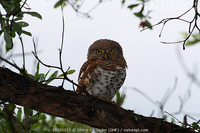 African barred owlet (Glaucidium capense) Sioma Nqwezi Park, Zambia. November 2010., Animal,Vertebrate,Birds,Owl,True owl,Pygmy owl,Animalia,Animal,Wildlife,Vertebrate,Aves,Birds,Strigiformes,Owl,Bird of prey,Strigidae,True owl,Typical owl,Striginae,Glaucidium,Pygmy owl,Africa,East Africa,Zambia,Glaucidium capense,African barred owlet,African barred owl, Steve O. Taylor (GHF)