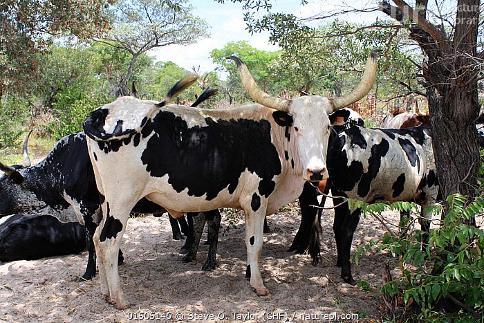 Cattle kept by Lozi people, Sioma Nqwezi Park, Zambia. November 2010.  ,  Africa,East Africa,Zambia,Animal,Livestock,Culture,Indigenous Culture,Domestic animal,Cattle,Cows,Zebu,Tribes,Bos indicus,Mammal  ,  Steve O. Taylor (GHF)