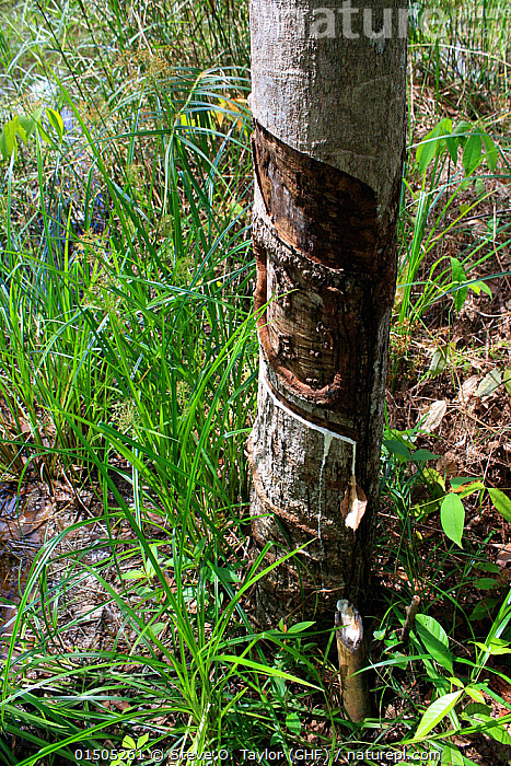 Rubber tapping (Hevea brasiliensis) Central Kalimantan,  Indonesian Borneo. June 2010.  ,  Plant,Vascular plant,Flowering plant,Rosid,Spurge,Rubber tree,Plantae,Plant,Tracheophyta,Vascular plant,Magnoliopsida,Flowering plant,Angiosperm,Seed plant,Spermatophyte,Spermatophytina,Angiospermae,Malpighiales,Rosid,Dicot,Dicotyledon,Rosanae,Euphorbiaceae,Spurge,Euphorb,Hevea,Hevea brasiliensis,Rubber tree,Para rubber tree,Hevea camargoana,Hevea granthamii,Siphonia janeirensis,Tapping,Asia,South East Asia,Vertical,Rubber,Forest,Borneo island,Borneo,Kalimantan  ,  Steve O. Taylor (GHF)