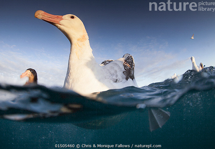 Wandering albatross (Diomedea exulans), feeding and cleaning.  ,  catalogue8,,Animal,Vertebrate,Bird,Birds,Tubenose,Albatross,Wandering albatross,Animalia,Animal,Wildlife,Vertebrate,Aves,Bird,Birds,Procellariiformes,Tubenose,Tubinare,Seabird,Diomedeidae,Albatross,Diomedea,Diomedea exulans,Wandering albatross,Snowy albatross,White winged albatross,Cleaning,Alertness,Alert,Optimism,Optimistic,Pride,Proud,Few,Three,Group,Nobody,Antarctica,Antarctic,Polar,Low Angle View,Surface View,Surface Views,Animal Limbs,Limb,Animal Feet,Feet,Foot,Webbed Foot,Webbed Feet,Animal Necks,Neck,Necks,Island,Islands,Archipelago,Archipelagoes,Archipelagos,Ocean,Outdoors,Open Air,Outside,Day,Marine,Split level,Water,Feeding,Saltwater,Sea,Antarctic ocean,Subantarctic islands,South Georgia Island,Water level,Three Animals,Personal point of view,Haughty,Southern ocean,Personal POV,Seabird,Seabirds,Marine bird,Marine birds,Pelagic bird,Pelagic birds,Endangered species,threatened,Vulnerable  ,  Chris & Monique Fallows