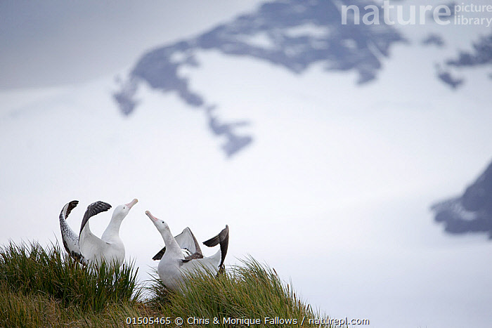 Wandering albatross (Diomedea exulans), engaged in mating display. South Georgia Island, Southern Ocean.  ,  catalogue8,,Animal,Vertebrate,Bird,Birds,Tubenose,Albatross,Wandering albatross,Animalia,Animal,Wildlife,Vertebrate,Aves,Bird,Birds,Procellariiformes,Tubenose,Tubinare,Seabird,Diomedeidae,Albatross,Diomedea,Diomedea exulans,Wandering albatross,Snowy albatross,White winged albatross,Showing Off,Attention Seeking,Seeking Attention,Privacy,High Up,Elevated,Elevation,High,Two,Nobody,Temperature,Cold,Antarctica,Antarctic,Polar,Wide Angle,Cliff,Island,Islands,Archipelago,Archipelagoes,Archipelagos,Mountain,Snow,Ocean,Outdoors,Open Air,Outside,Day,Marine,Water,Animal Behaviour,Mating Behaviour,Copulation,Display,Abstract,Abstracts,Behaviour,Saltwater,Antarctic ocean,Displaying,Subantarctic islands,South Georgia Island,Two animals,Southern ocean,Seabird,Seabirds,Marine bird,Marine birds,Pelagic bird,Pelagic birds,Endangered species,threatened,Vulnerable  ,  Chris & Monique Fallows