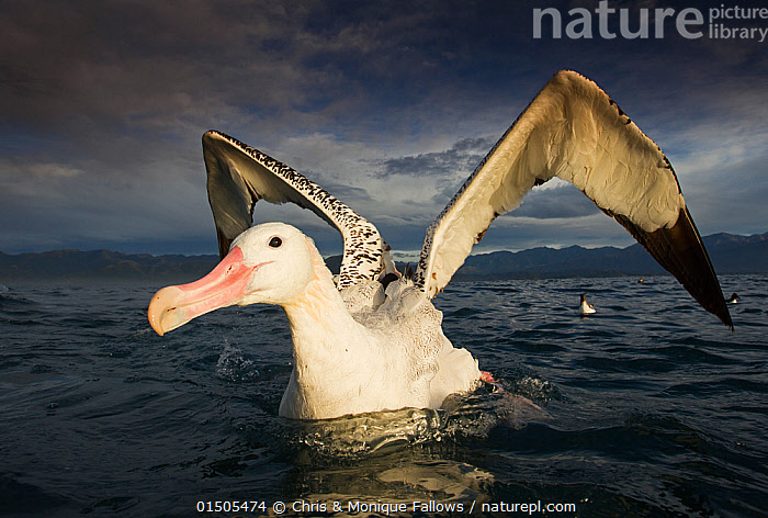 Wandering albatross (Diomedea exulans), feeding and cleaning.  ,  high15,,Animal,Vertebrate,Bird,Birds,Tubenose,Albatross,Wandering albatross,Animalia,Animal,Wildlife,Vertebrate,Aves,Bird,Birds,Procellariiformes,Tubenose,Tubinare,Seabird,Diomedeidae,Albatross,Diomedea,Diomedea exulans,Wandering albatross,Snowy albatross,White winged albatross,Cleaning,Determination,Excitement,Eagerness,Enthusiasm,Enthusiastic,Excited,On The Move,Optimism,Optimistic,Happiness,Nobody,Dark,Darkness,Facial Expression,Smiling,Antarctica,Antarctic,Polar,Wing,Wings,Island,Islands,Archipelago,Archipelagoes,Archipelagos,Ocean,Outdoors,Open Air,Outside,Day,Marine,Water,Feeding,Saltwater,Sea,Antarctic ocean,Subantarctic islands,South Georgia Island,Moving,Southern ocean,Wings Up,Seabird,Seabirds,Marine bird,Marine birds,Pelagic bird,Pelagic birds,Endangered species,threatened,Vulnerable  ,  Chris & Monique Fallows