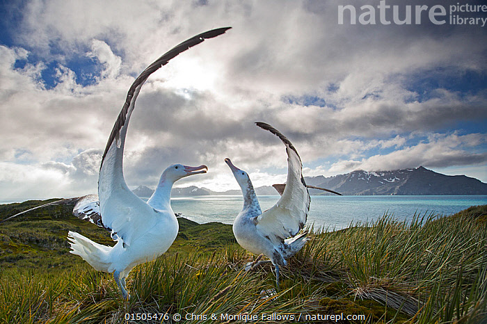 Wandering albatross (Diomedea exulans), engaged in mating display. South Georgia Island, Southern Ocean., high15,,Animal,Vertebrate,Bird,Birds,Tubenose,Albatross,Wandering albatross,Animalia,Animal,Wildlife,Vertebrate,Aves,Bird,Birds,Procellariiformes,Tubenose,Tubinare,Seabird,Diomedeidae,Albatross,Diomedea,Diomedea exulans,Wandering albatross,Snowy albatross,White winged albatross,Praying,Pray,Prayer,Prayers,Worship,Worshipping,Copying,Copies,Copy,Imitation,Alike,Face To Face,Face Each Other,Facing Each Other,Two,Nobody,Windswept,Wind Blown,Wind-Blown,Windblown,Antarctica,Antarctic,Polar,Wide Angle,Wing,Wings,Island,Islands,Archipelago,Archipelagoes,Archipelagos,Sky,Cloud,Ocean,Outdoors,Open Air,Outside,Day,Coast,Marine,Coastal,Water,Animal Behaviour,Mating Behaviour,Copulation,Display,Behaviour,Saltwater,Antarctic ocean,Displaying,Subantarctic islands,South Georgia Island,View to land,Two animals,Southern ocean,Wings Up,Seabird,Seabirds,Marine bird,Marine birds,Pelagic bird,Pelagic birds,Endangered species,threatened,Vulnerable, Chris & Monique Fallows